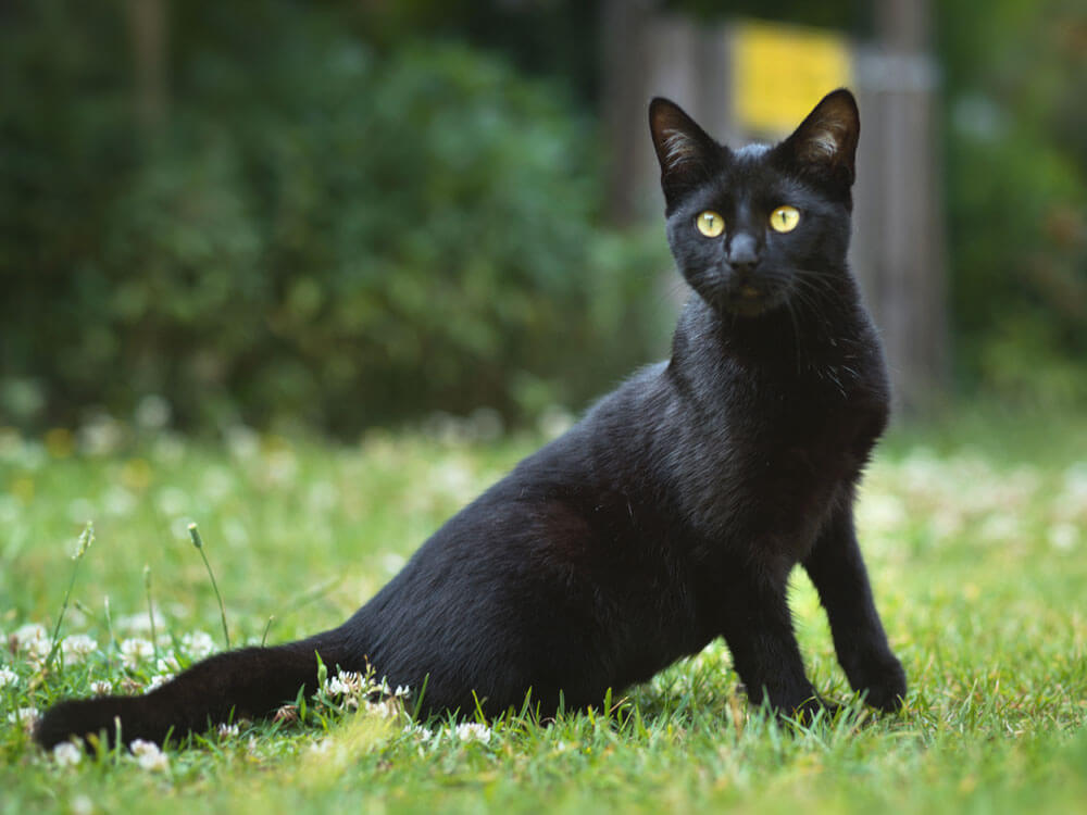 Black cat, a perfect match for cat breeders