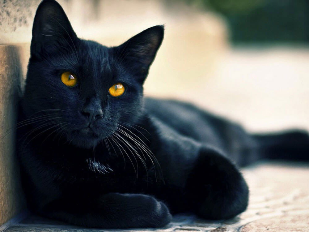 A black Bombay cat might be the one for you