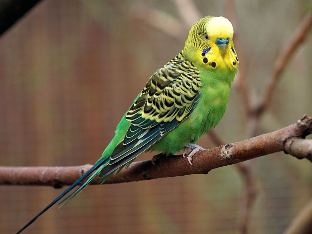 Budgie bird, one of the best pet for kids