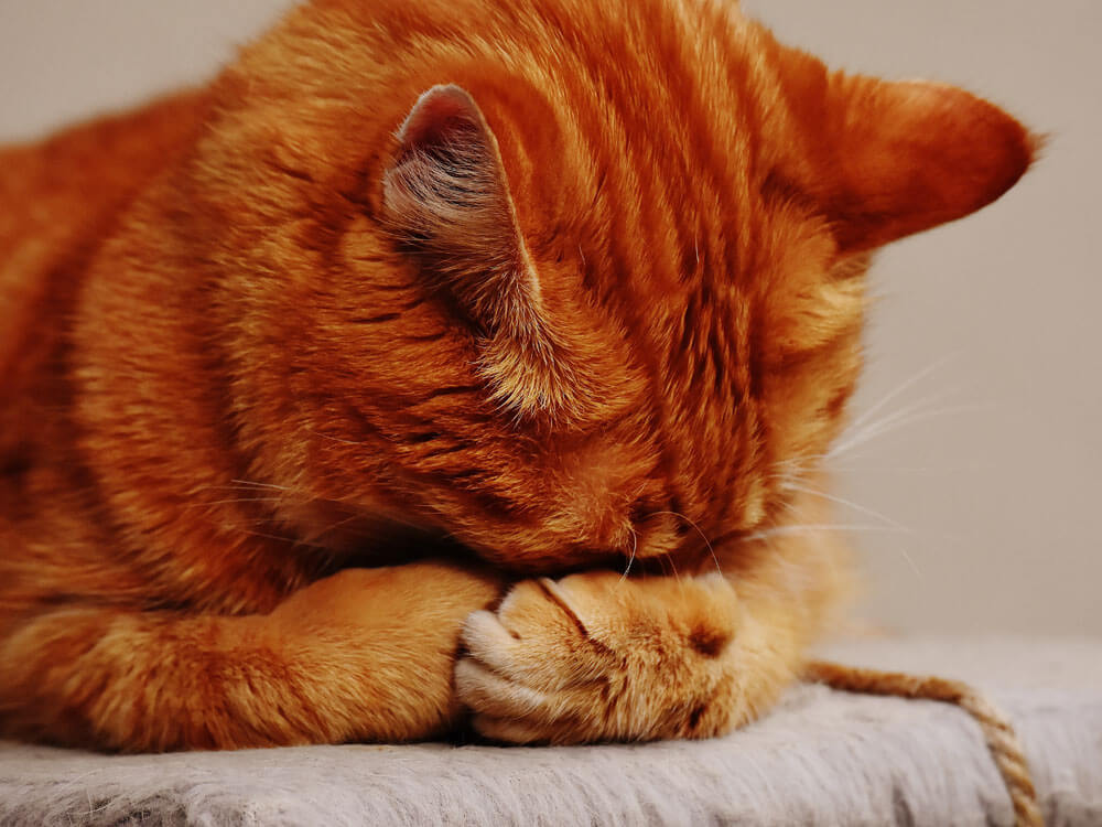 a cat nose pawing due to rhinitis