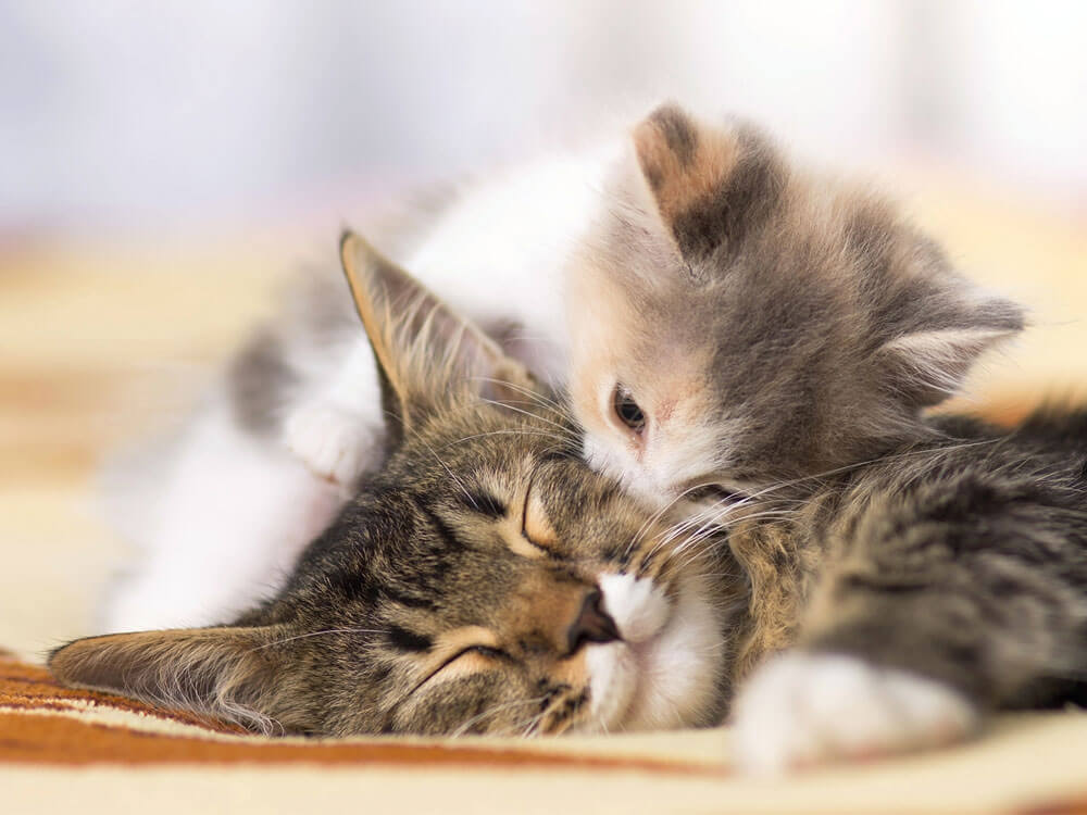 A kitten being affectionate to the cat
