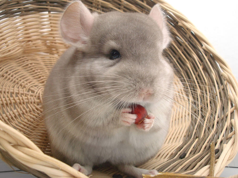 A chinchilla eating a food which is good in its digestive system