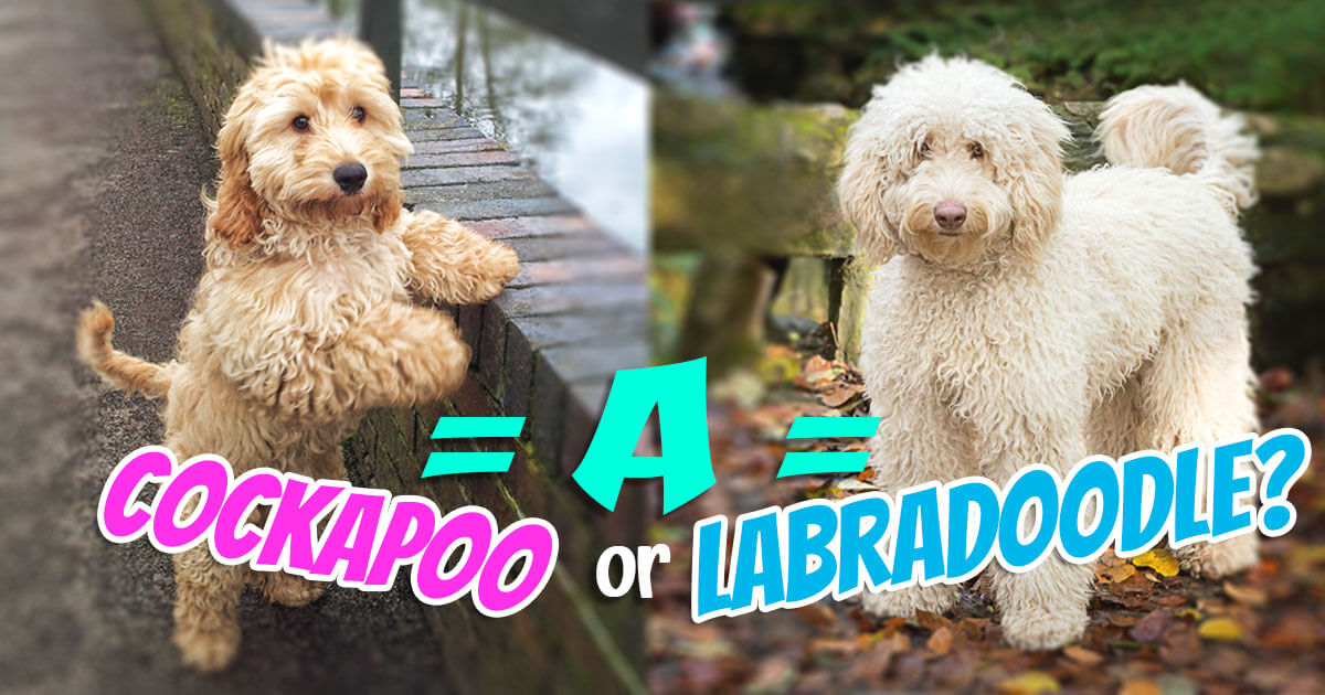 Choosing the Right Crossbreed: A Cockapoo or Labradoodle