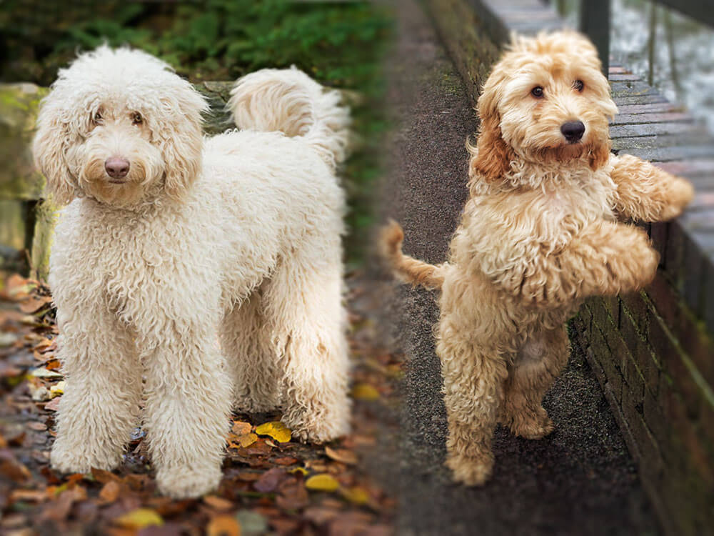 Choosing the right crossbreed, Cockapoo or Labradoodle