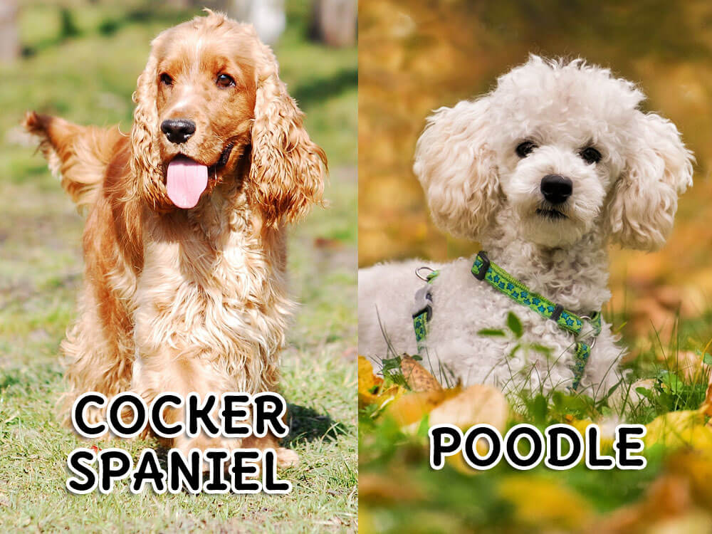 A meeting of Cocker Spaniel and Poodle will result into a Cockapoo