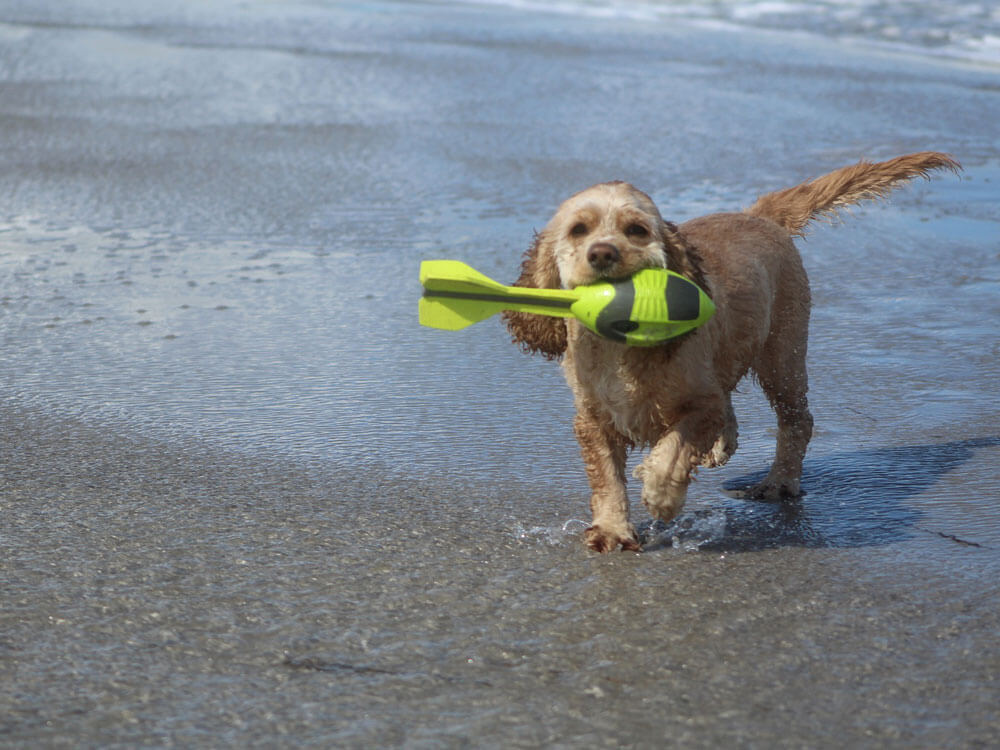 A cocker spaniel playing catch of a small treat thrown from its owner