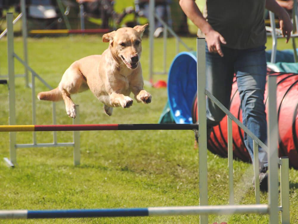 A dog jumping for an agility training program