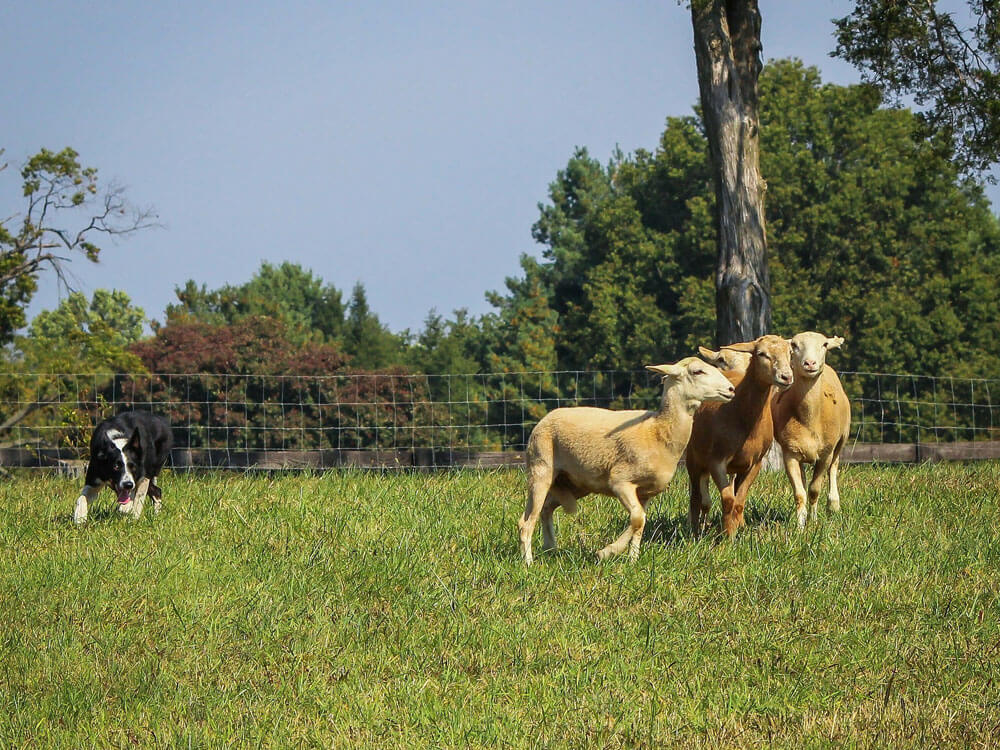 A dog attacking group of sheep affects livestocks