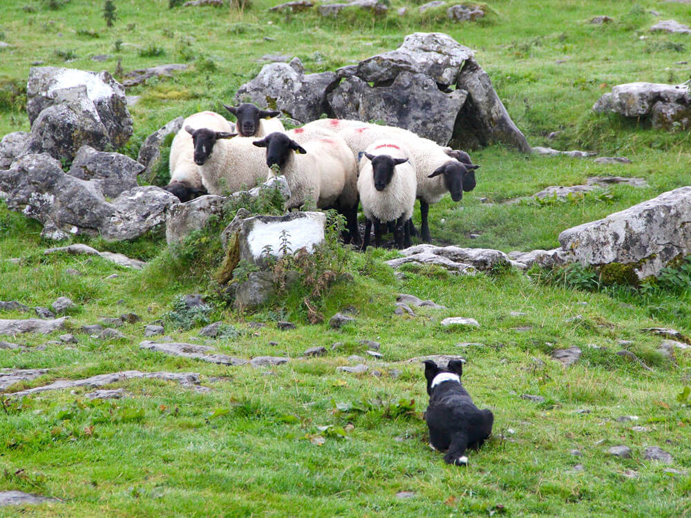 dog attacking on sheep as a major problem of farmers