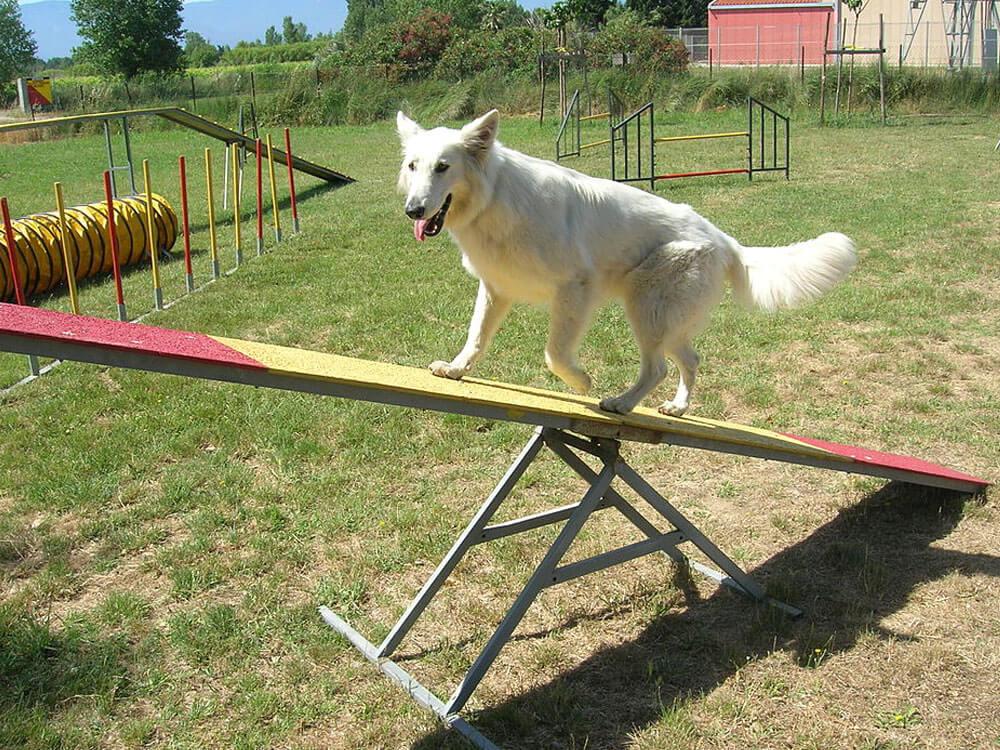 Dog walks in a seesaw for an agility training program