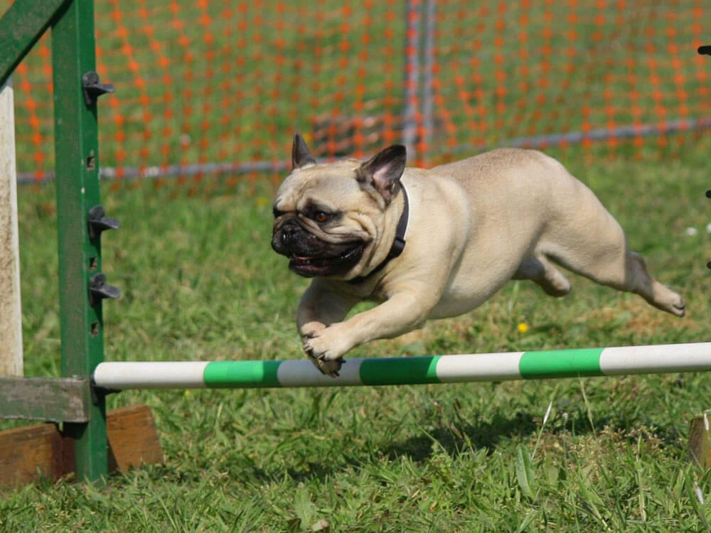 Pug jumps for an agility training program