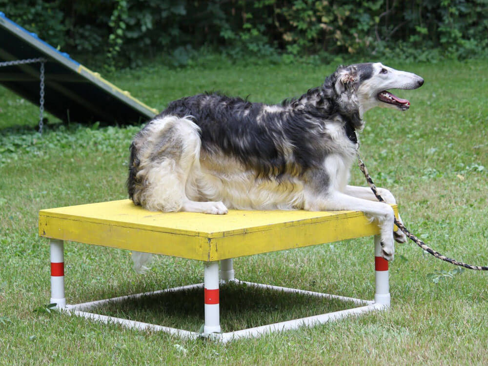 the dog behaves in a pause box for an agility training