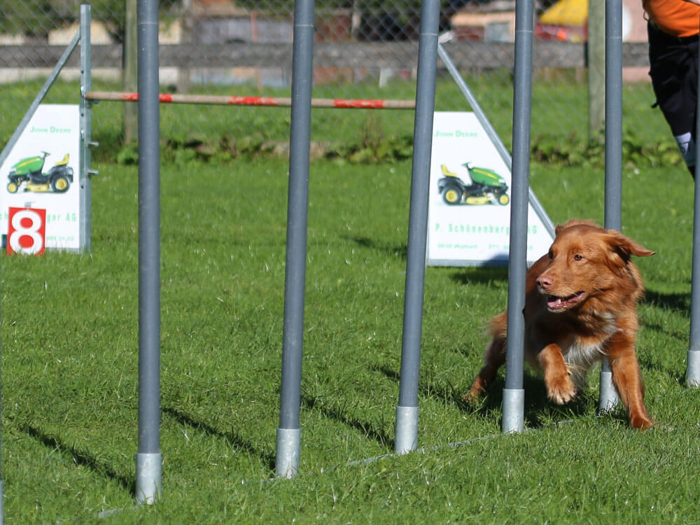 a dog running in a weave poles for an agility training