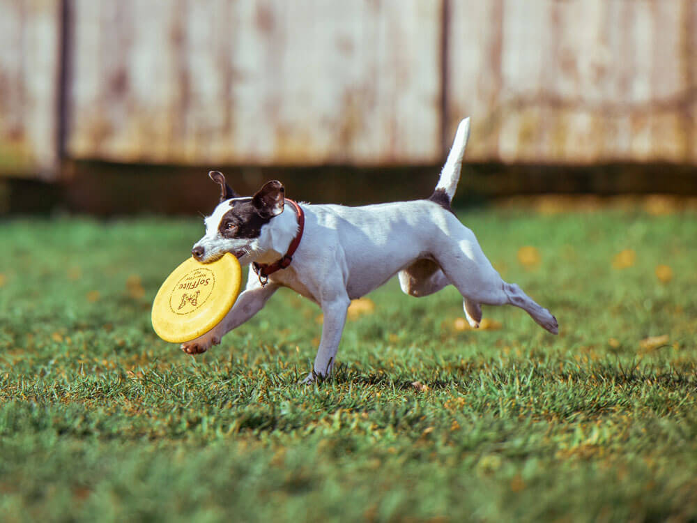 A dog strengthens its muscles by playing and doing agility test