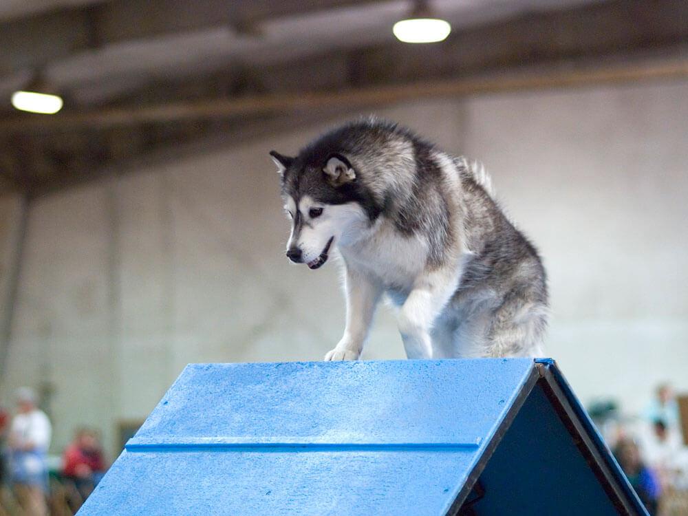 A dog climbing on an A-frame equipment in an agility training