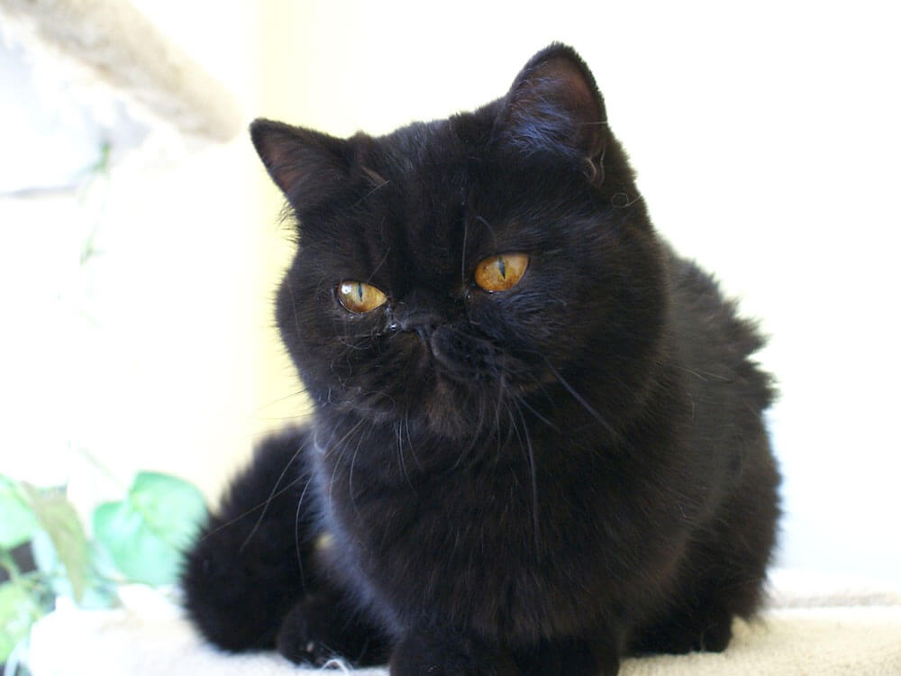 A black Exotic Shorthair cat might be the one for you