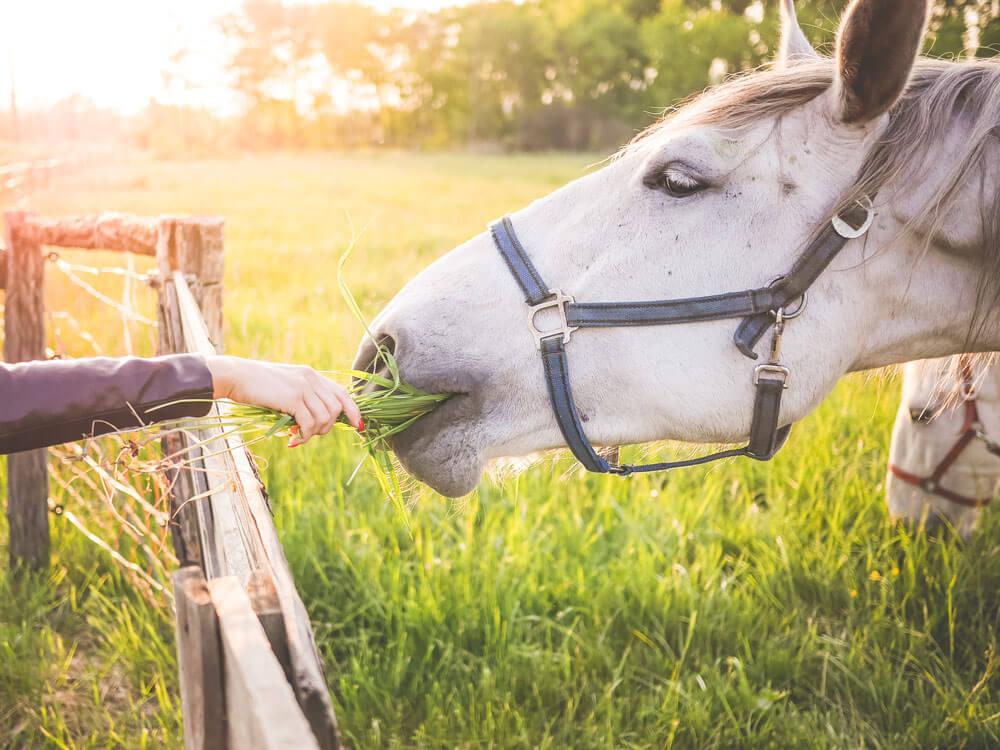 a woman feeding grass to a horse