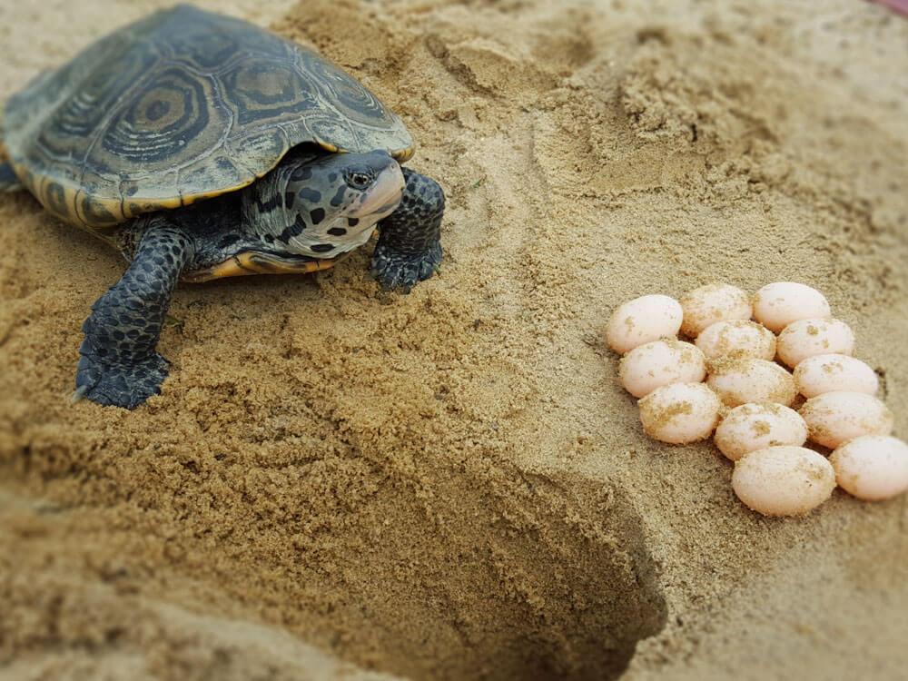 A female turtle laid eggs