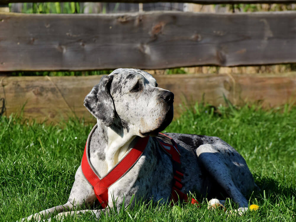 A Great Dane is suffering from hip dysplasia