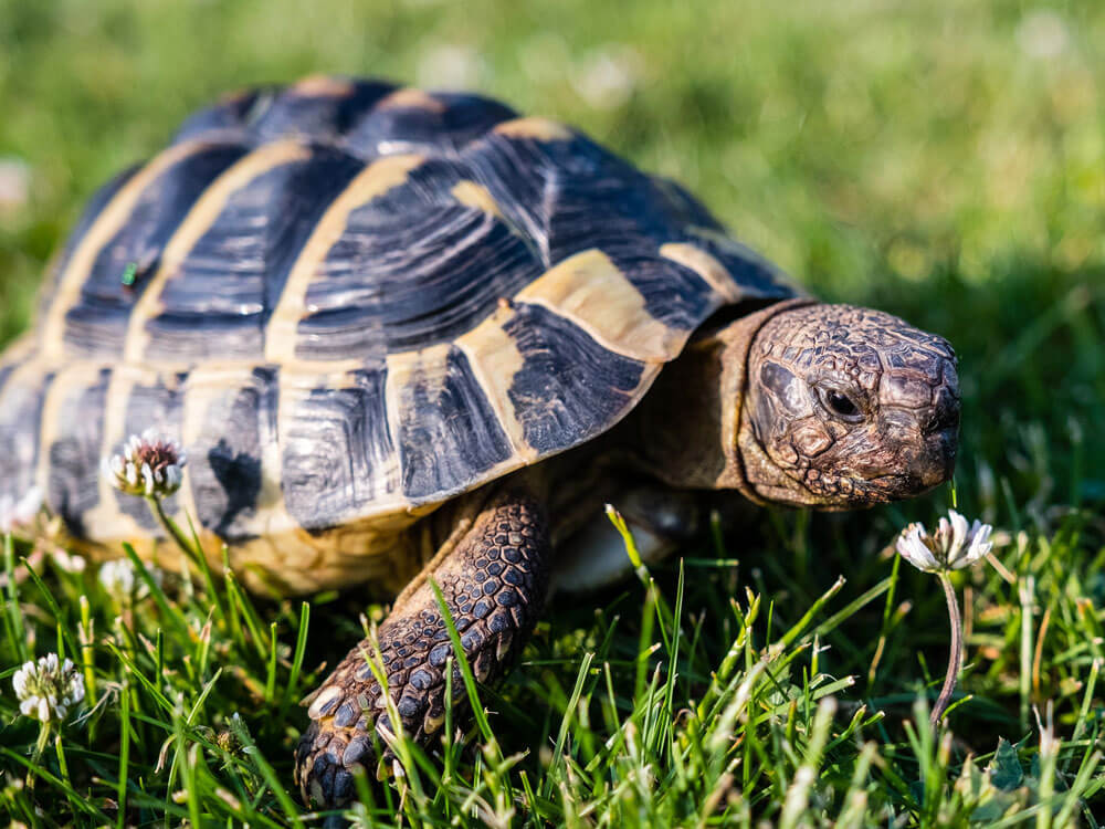 A must-know things before getting a Greek Tortoise pet