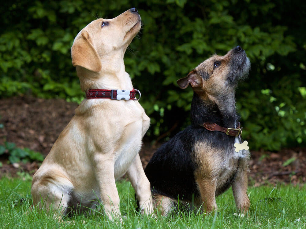 Two dogs train in a group obedience class