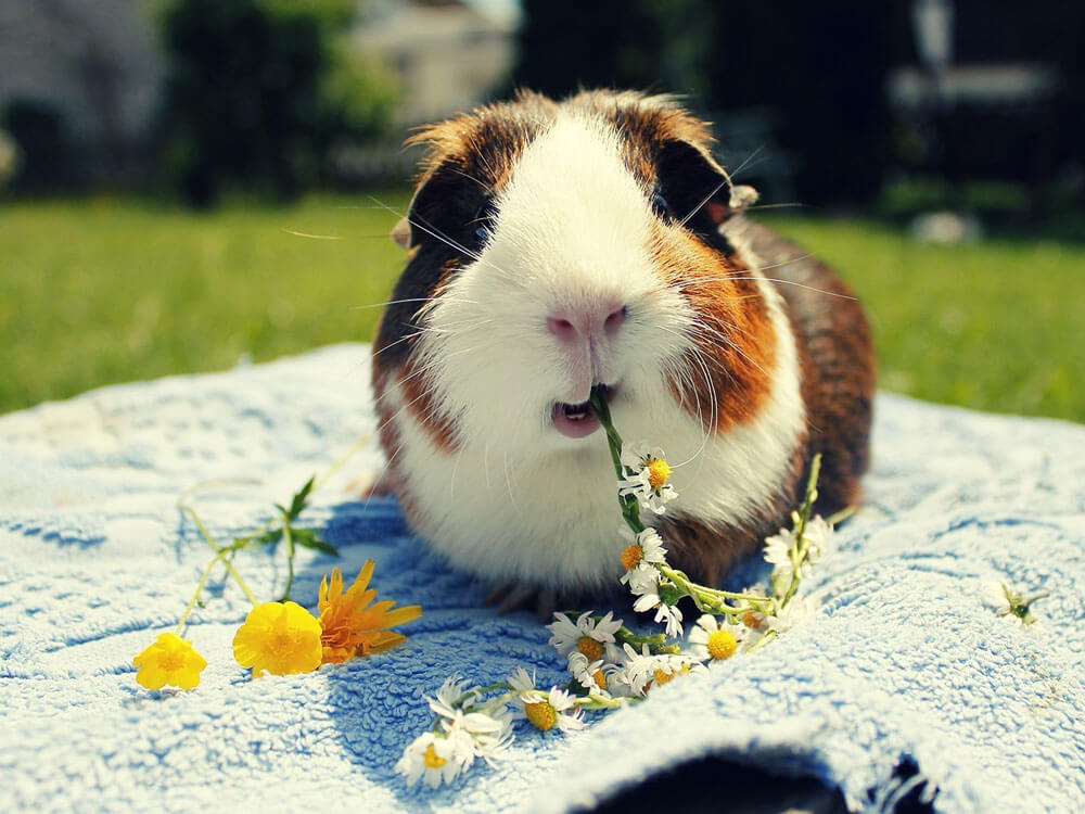 Guinea pig, one of the best pet for kids