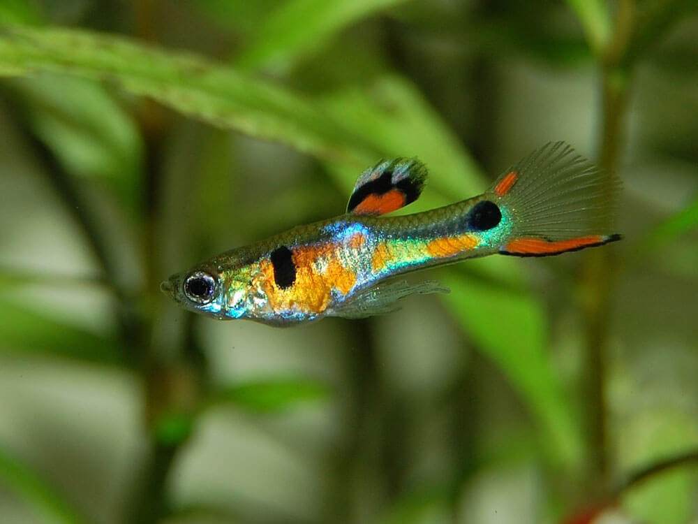 Guppy, a sociable fish and also the best option for beginner