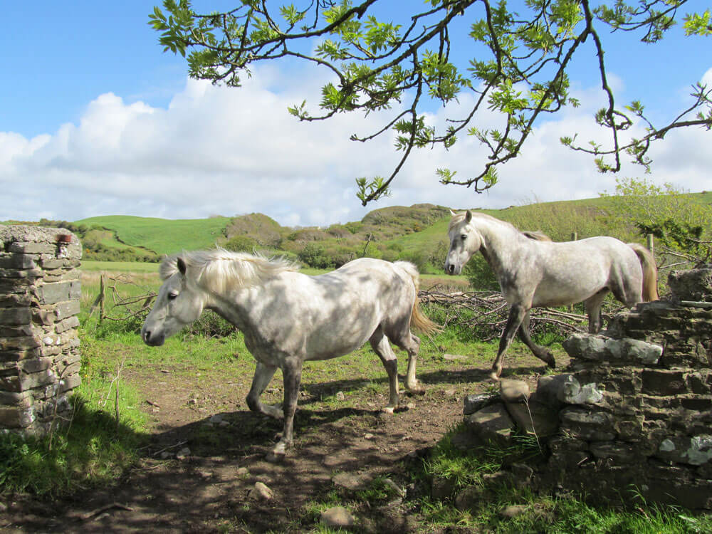Irish Horse, one of the recommended breed for starters of horseback riding