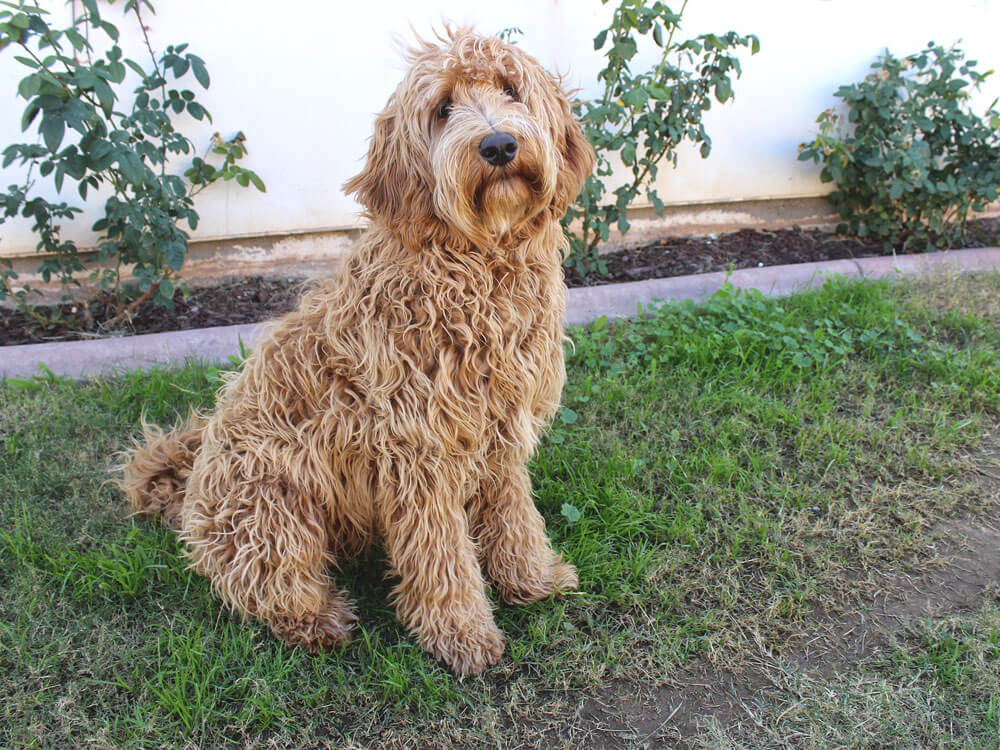 Labradoodle, a crossbreed of Labrador and Poodle