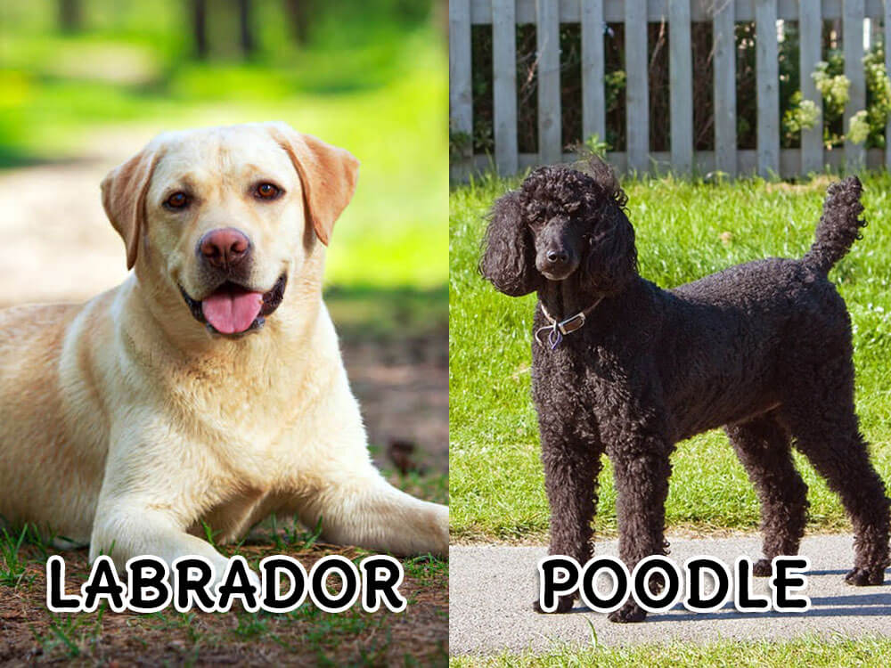 A meeting of Labrador and Poodle will result into a Labradoodle