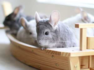 How to Look after a Chinchilla?