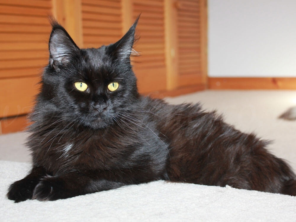 A black Maine Coon cat might be the one for you