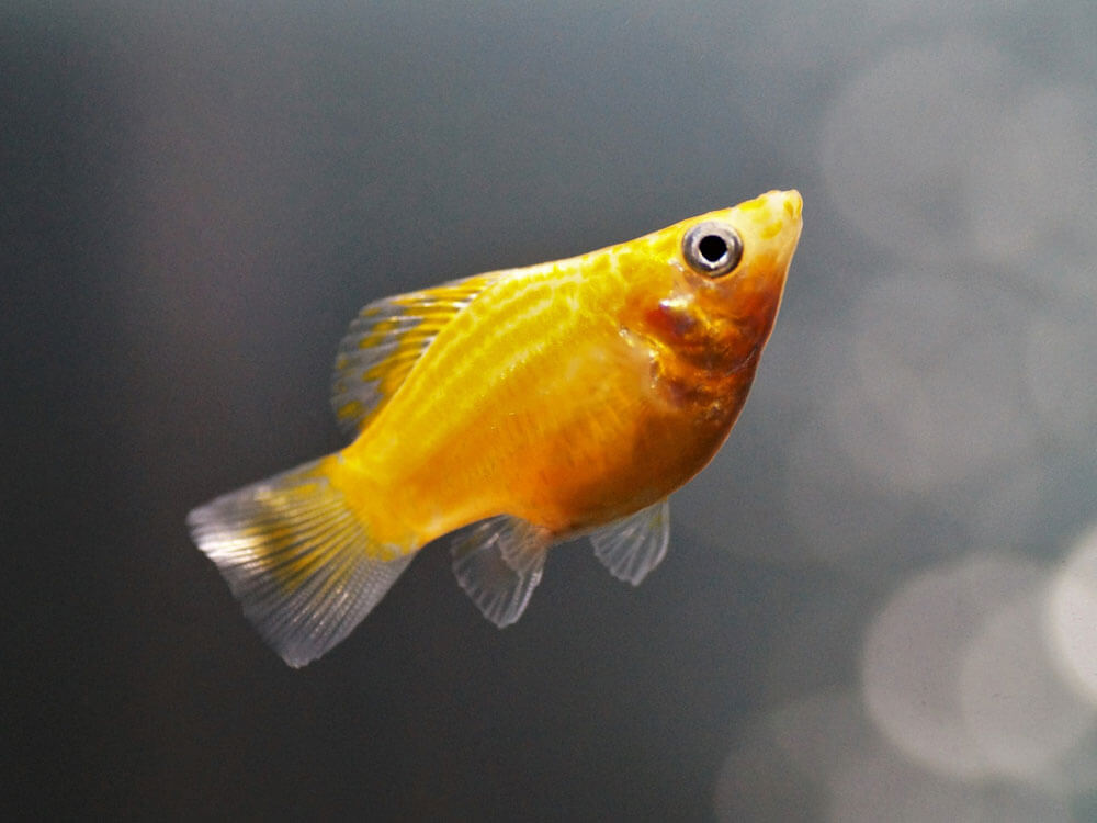 Molly fish swims actively and best kept in open swimming spaces tank