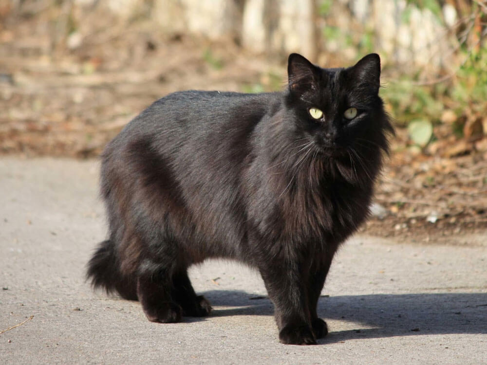 A black Persian cat might be the one for you