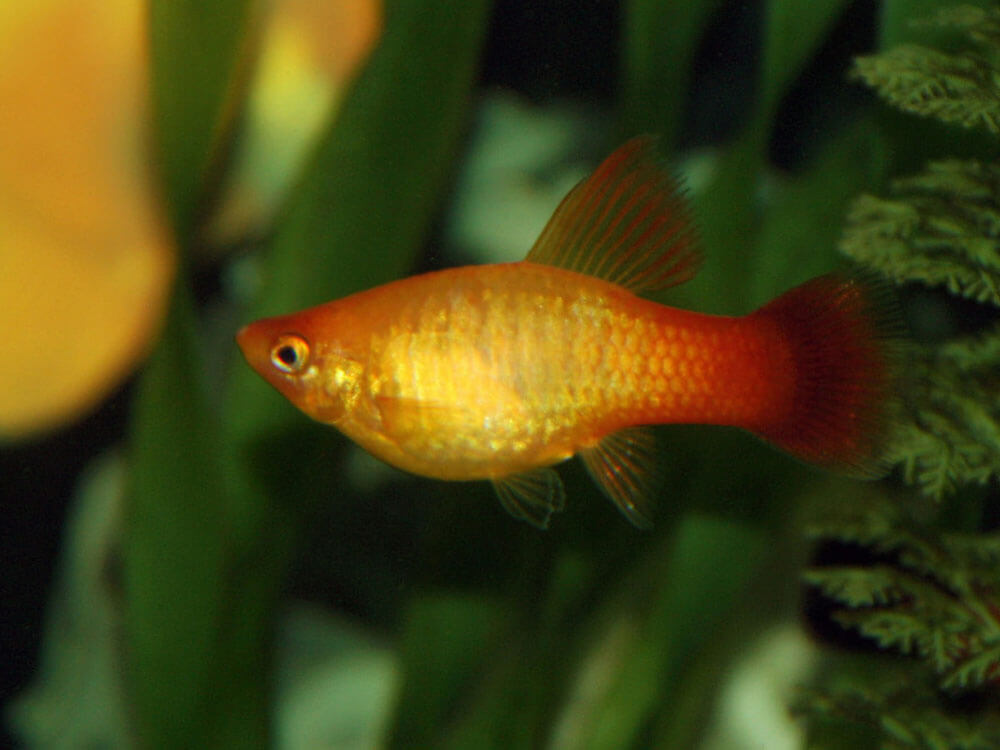 platy, a peaceful fish that can go well with other tank mates fishes