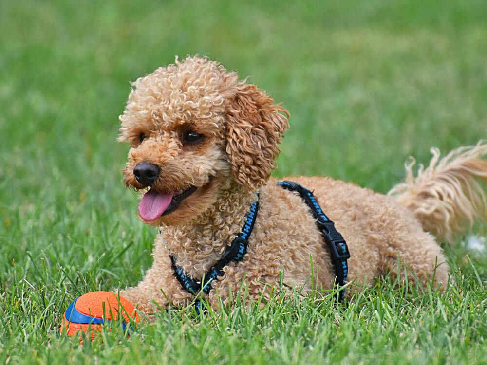 A puppy playing a toy in the grass field