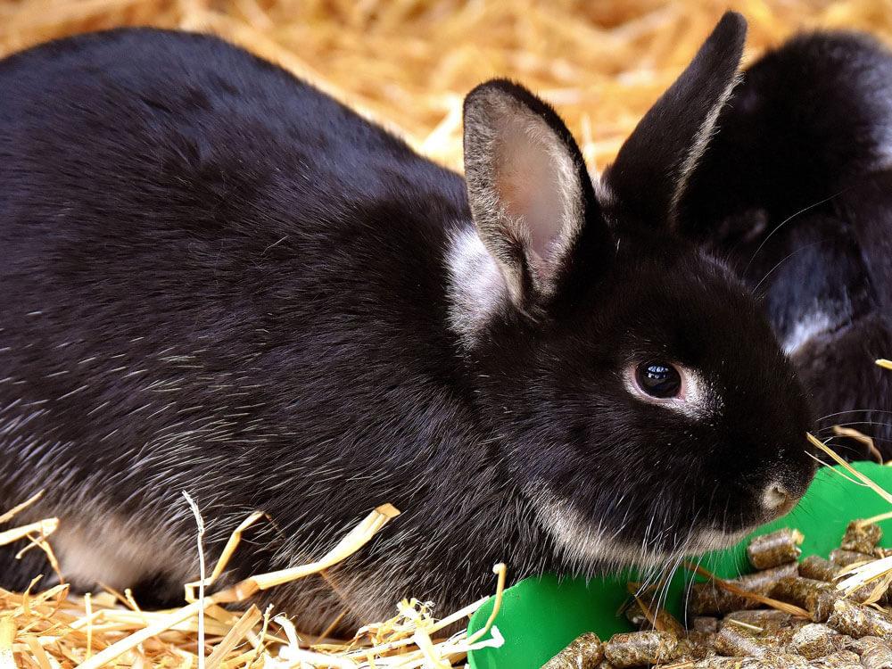 A rabbit eating pellets