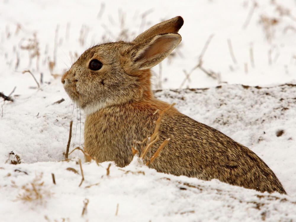 a rabbit sneaking in a snowy field