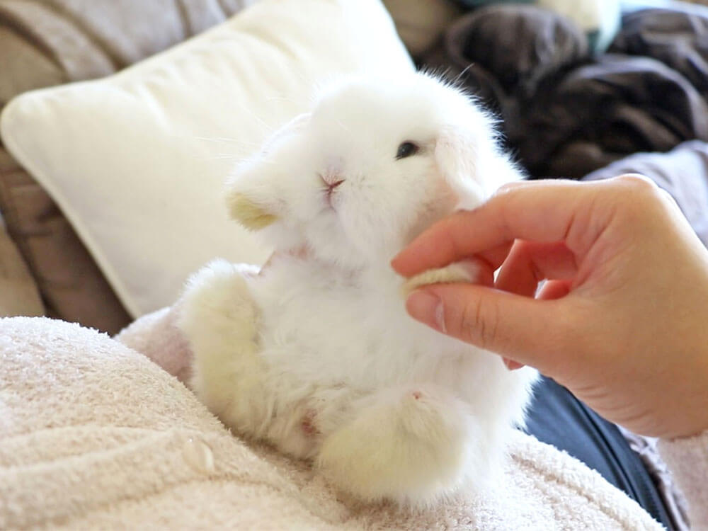 An adorable bunny massaged by its owner