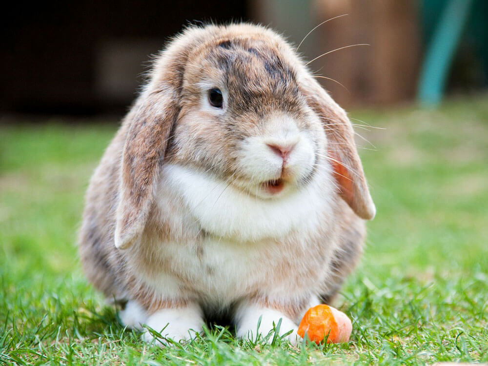 A bunny not eating its food