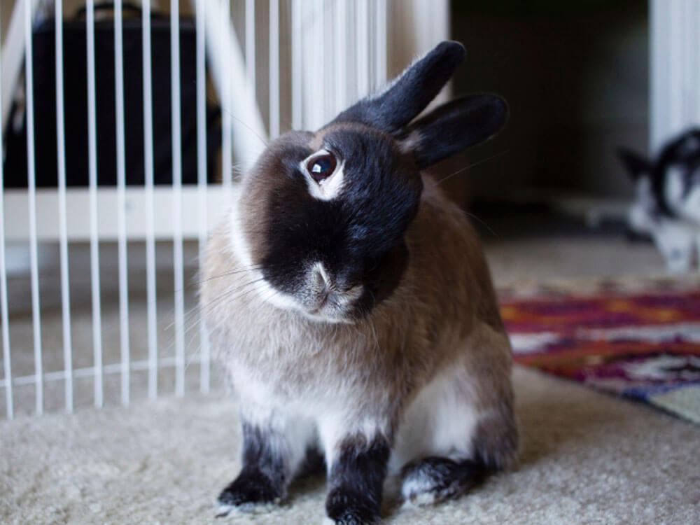 Sneezing may cause the rabbit into head tilting