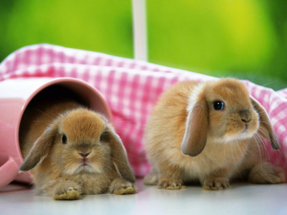 Rabbit as pets at home