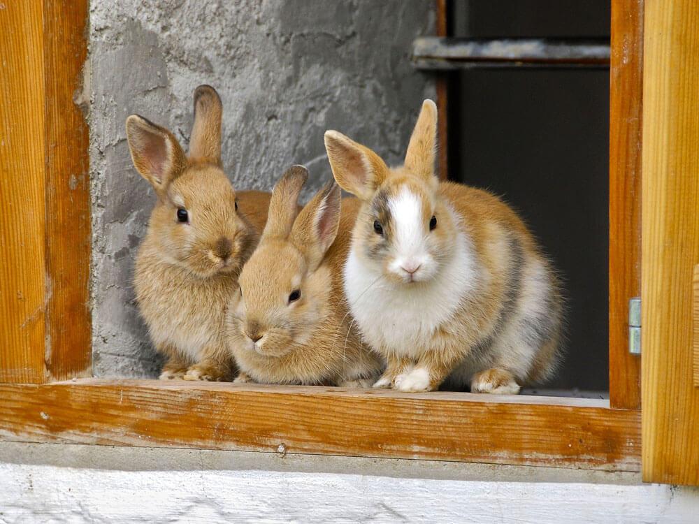 Three rabbits watching at the window