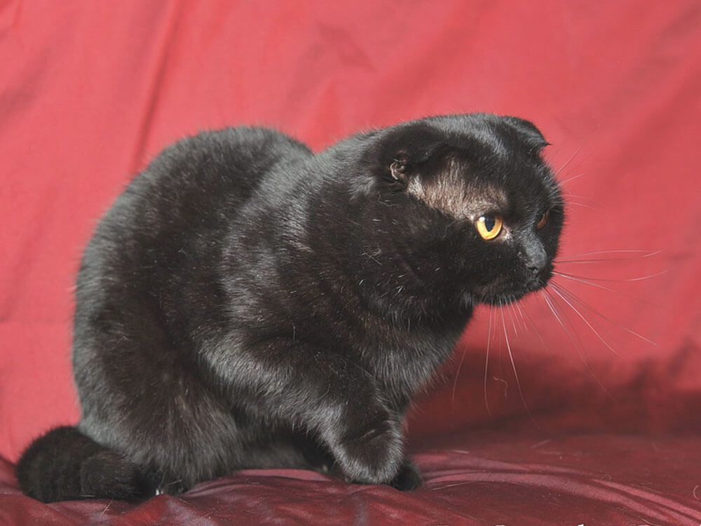 A black Scottish Fold cat might be the one for you