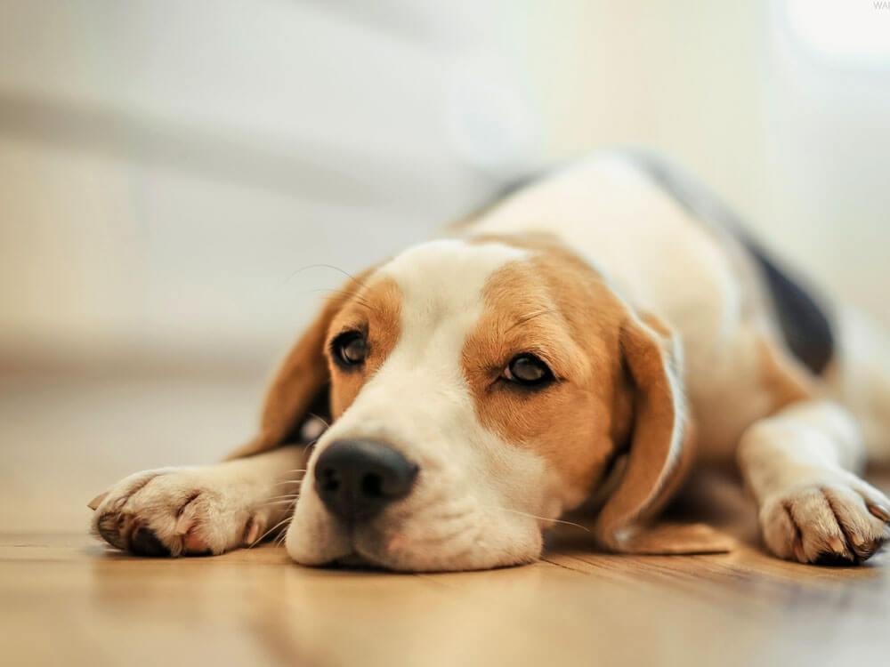 why does dog vomit