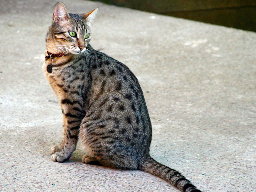 a spotted tabby cat that might be the one for cat lovers