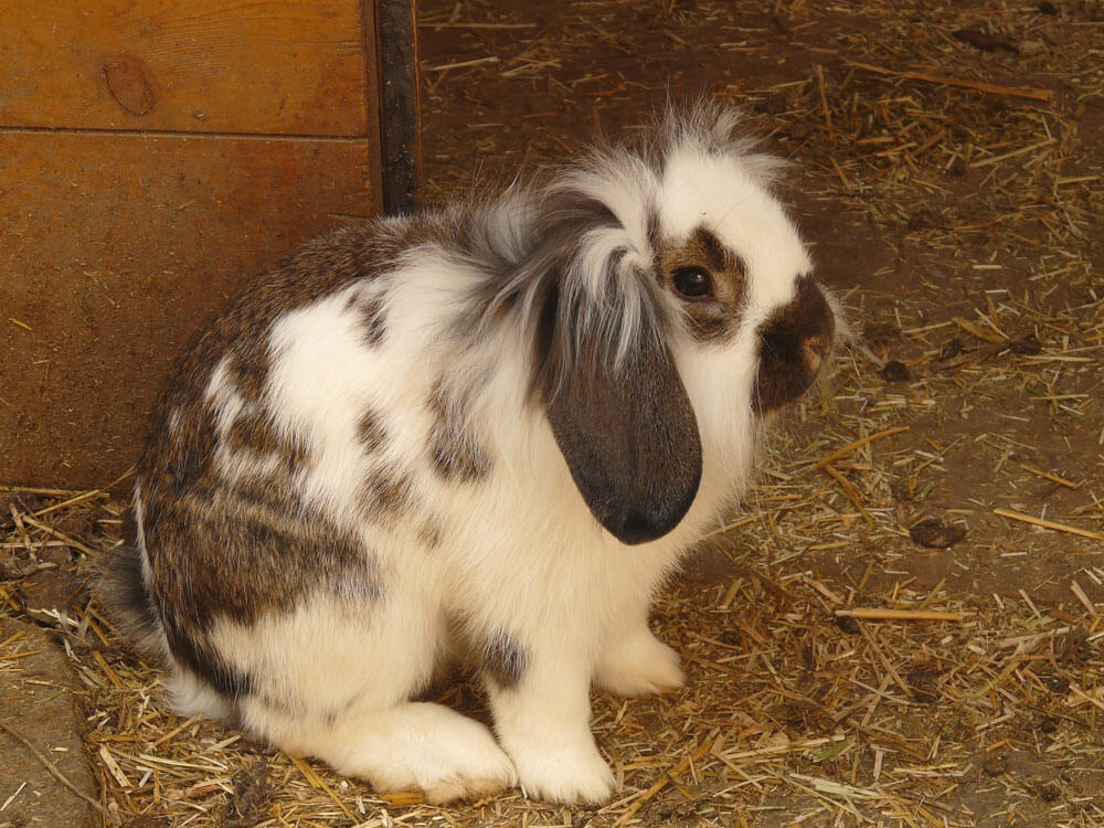 A rabbit that won't eat due to stress and dental issues