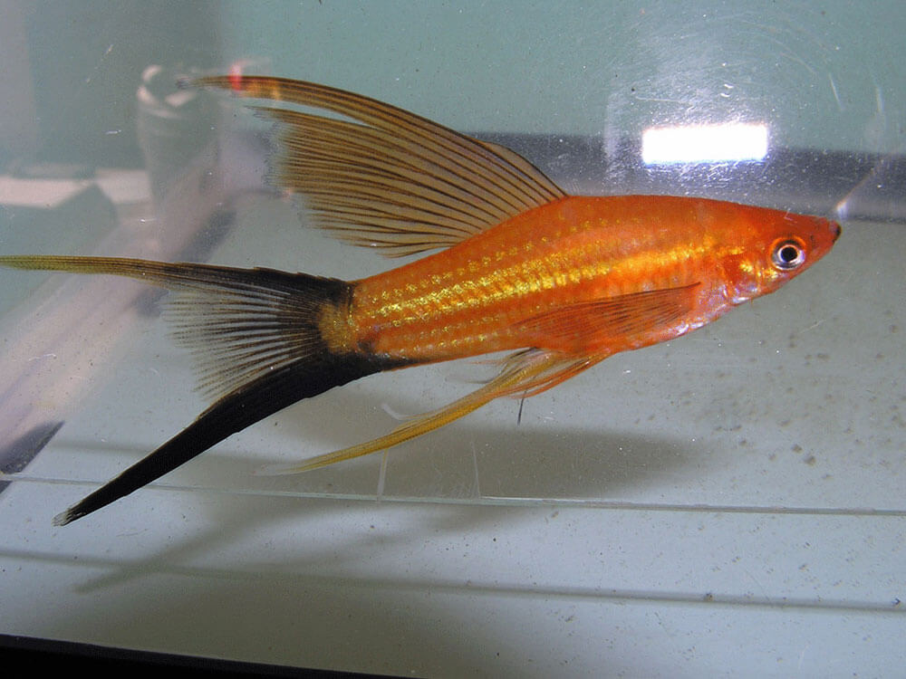 Swordtail, a male fish that have a sword-like tail and grow as long as their bodies
