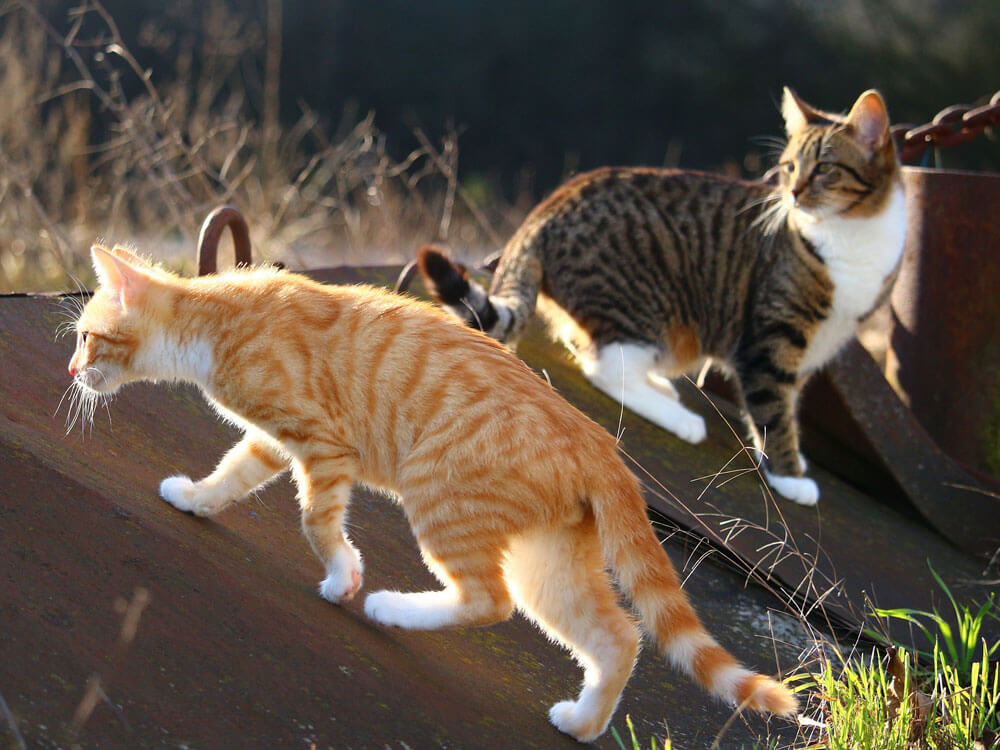 tabby cats hunting rodents
