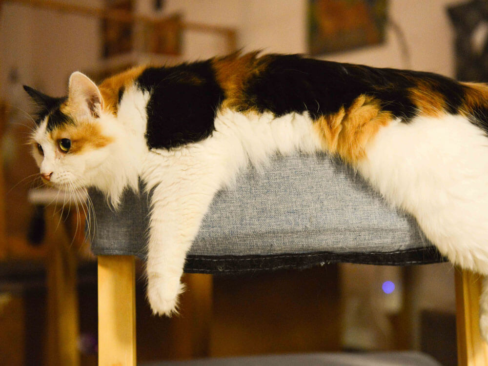 a cat with bacterial infection, lying on a chair
